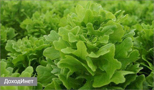 Заработок на выращивании зелени